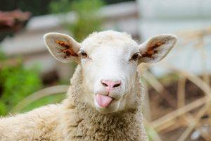 sheep news